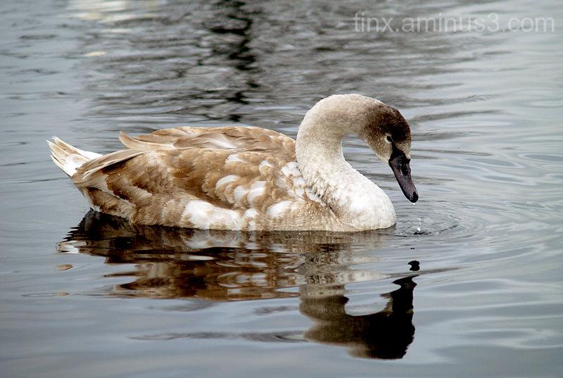 Noor luik, Young swan