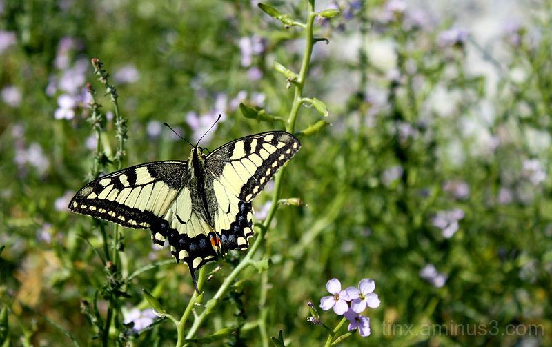 Pääsusaba, Swallowtail butterfly, Papilio machaon