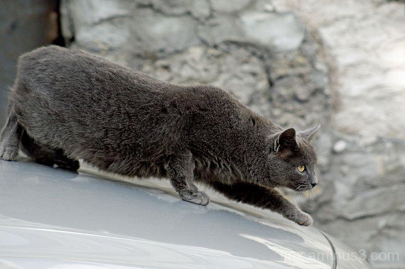 Hall kass, Gray cat
