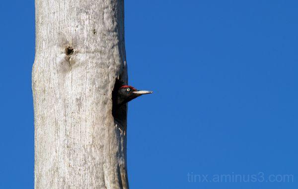 Musträhn, Black Woodpecker, Dryocopus martius