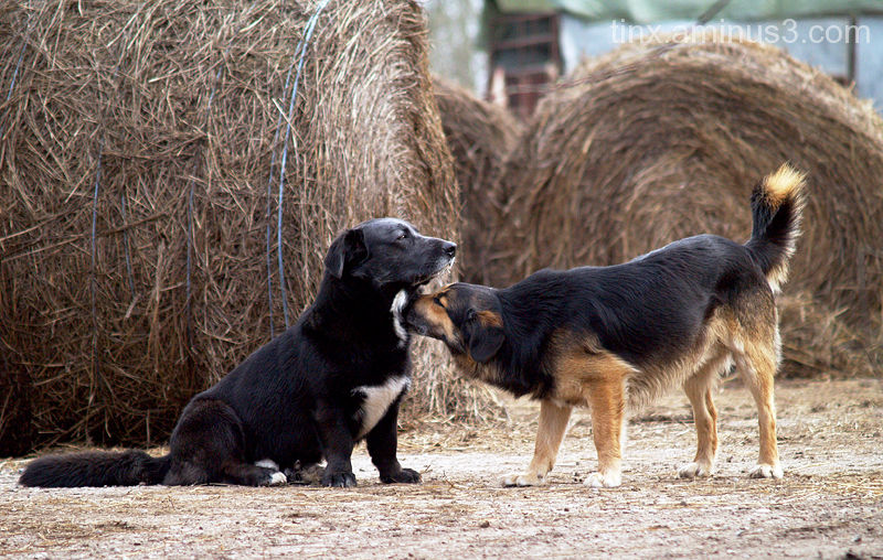 Koerad, Dogs