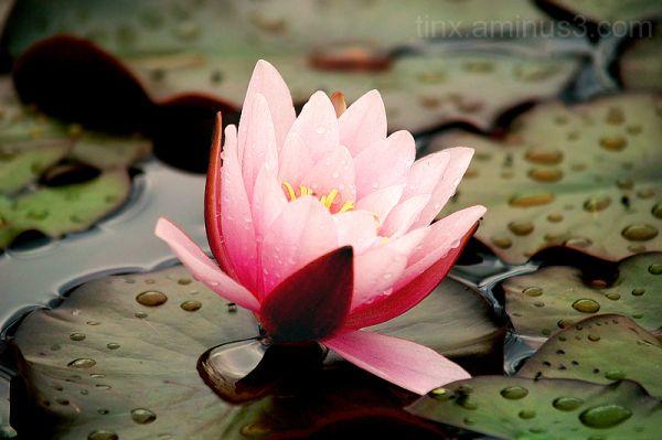 Vesiroos, Water lily