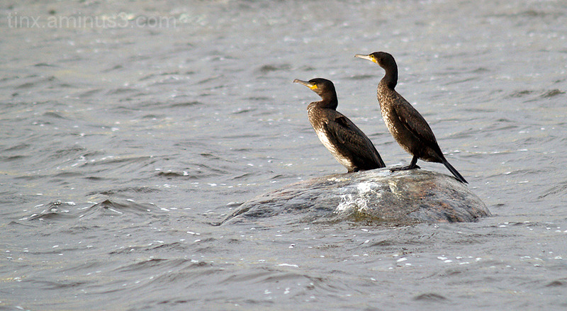 Kormoranid, Cormorants