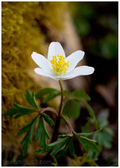 Ülane, Wood Anemone