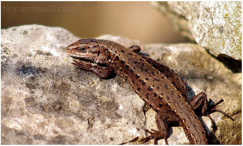 Arusisalik, Viviparous lizard, Zootoca vivipara