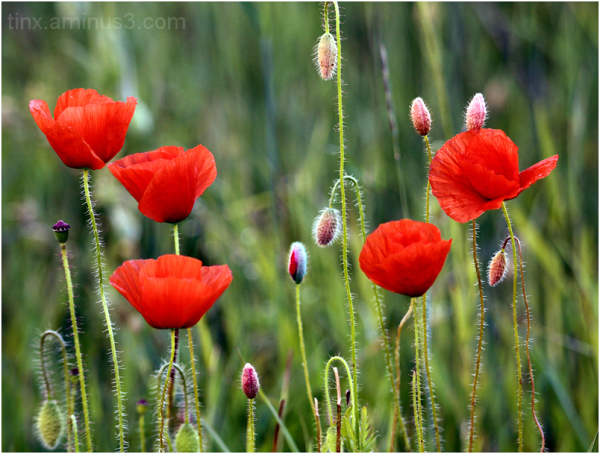 Moonid, Poppies