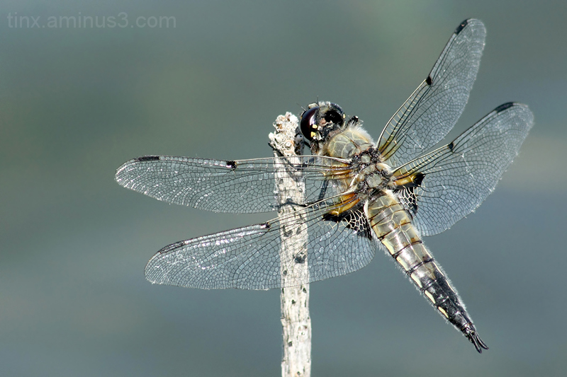 Harilik vesikiil, Libellula quadrimaculata
