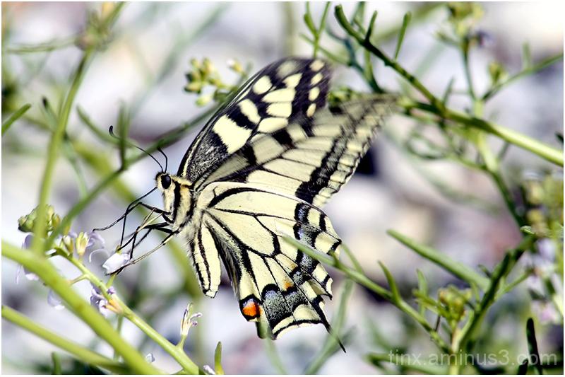Pääsusaba, Swallowtail butterfly, Papilio machao
