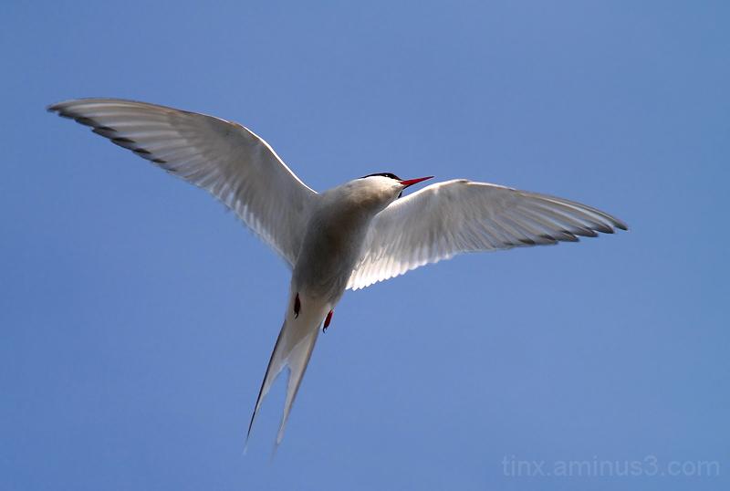 Randtiir, Arctic Tern, Sterna paradisaea