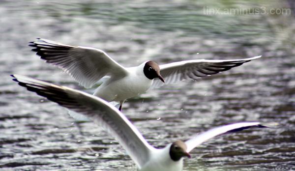 Naerukajakas, Laughing Gull, Larus atricilla