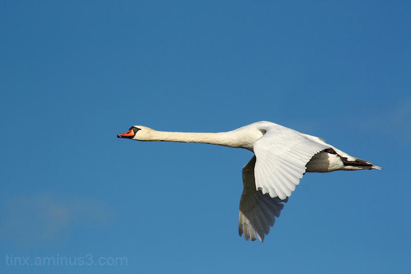 Kühmnokk-luik, Mute swan, Cygnus olor