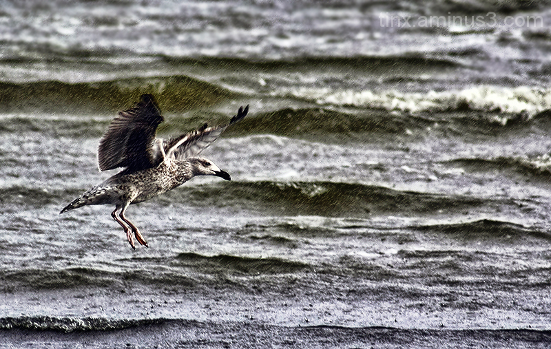 Kajakas vihmas, Gull in the rain