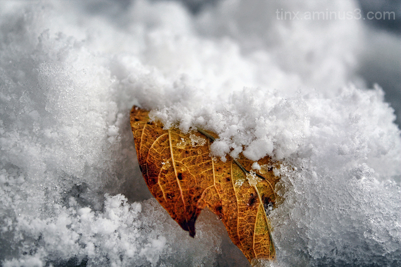 Leht lumes, Leaf in snow