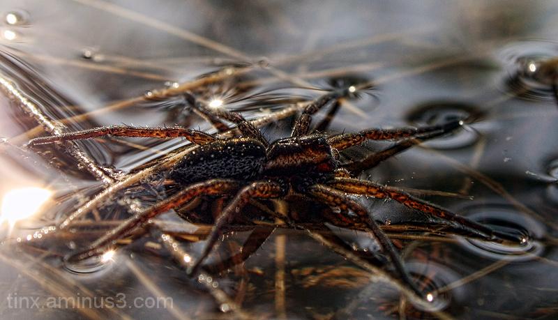 Ämblik, Spider