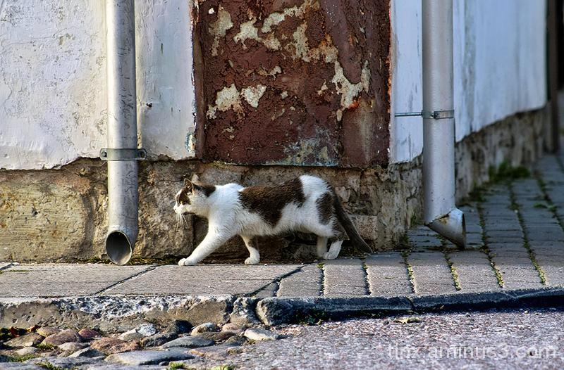 Tänavakass, Street cat