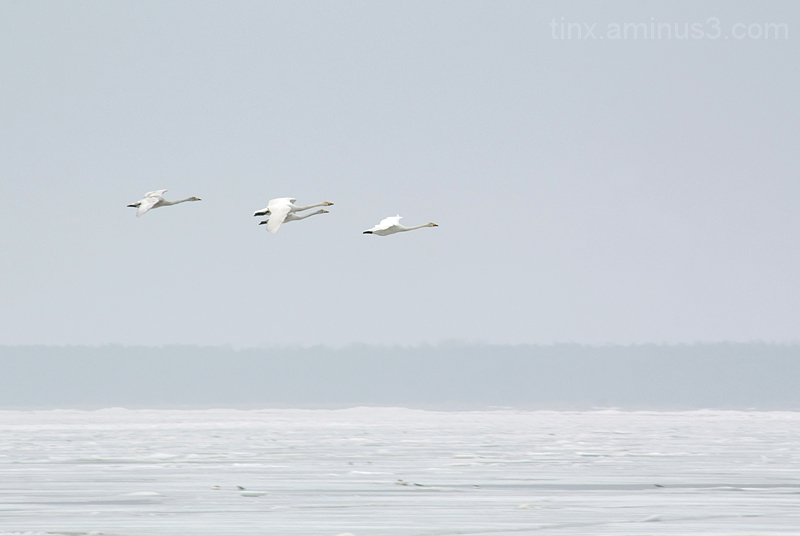 Laululuiged, Whooper Swans, Cygnus cygnus