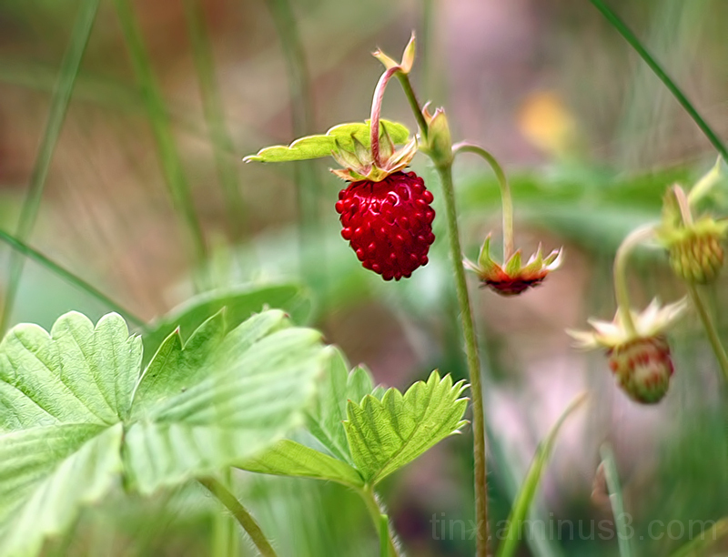 Metsmaasikas, Wild strawberry