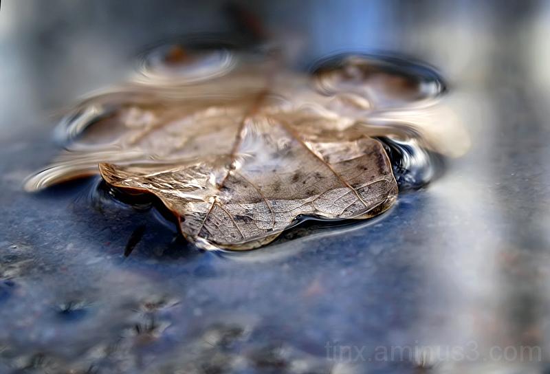 Langenud tammeleht, Fallen oak leaf