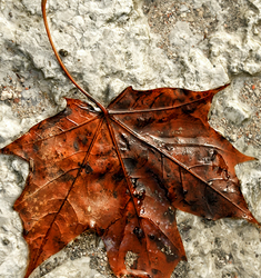 Vahtraleht, Maple leaf