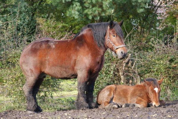 Brabants or Belgium trekpaard