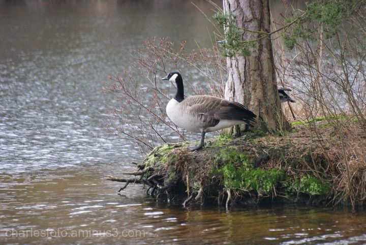 Savage goose