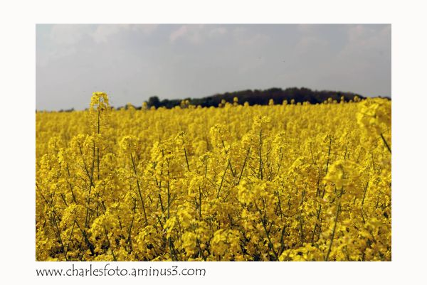 Field full of rapeseed