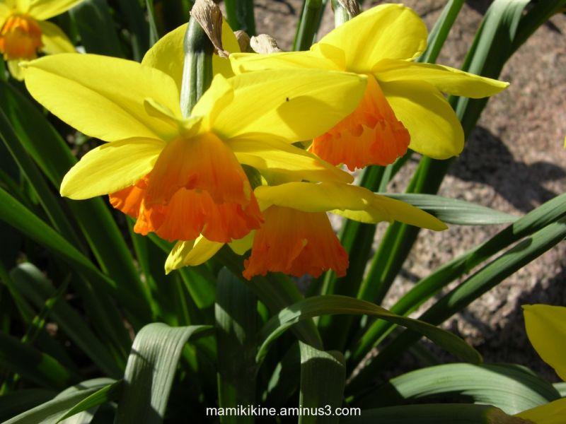Jonquilles bicolores, bicolored daffodils