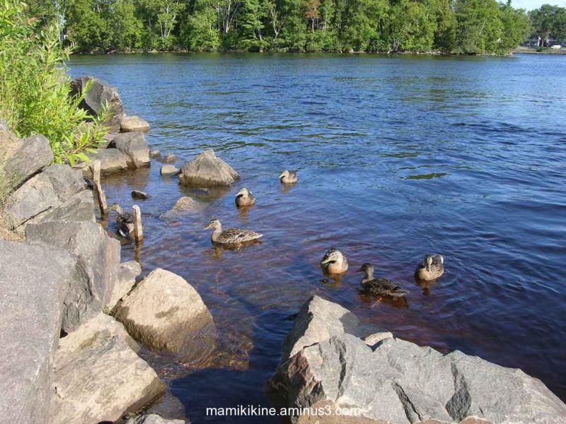 Les canards, ducks