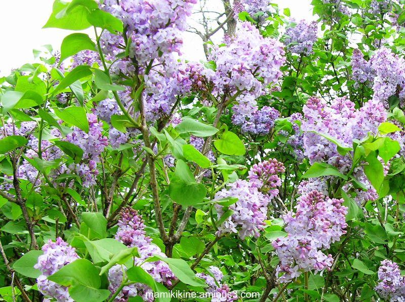 Les lilas sont en fleurs, the lilacs are in bloom