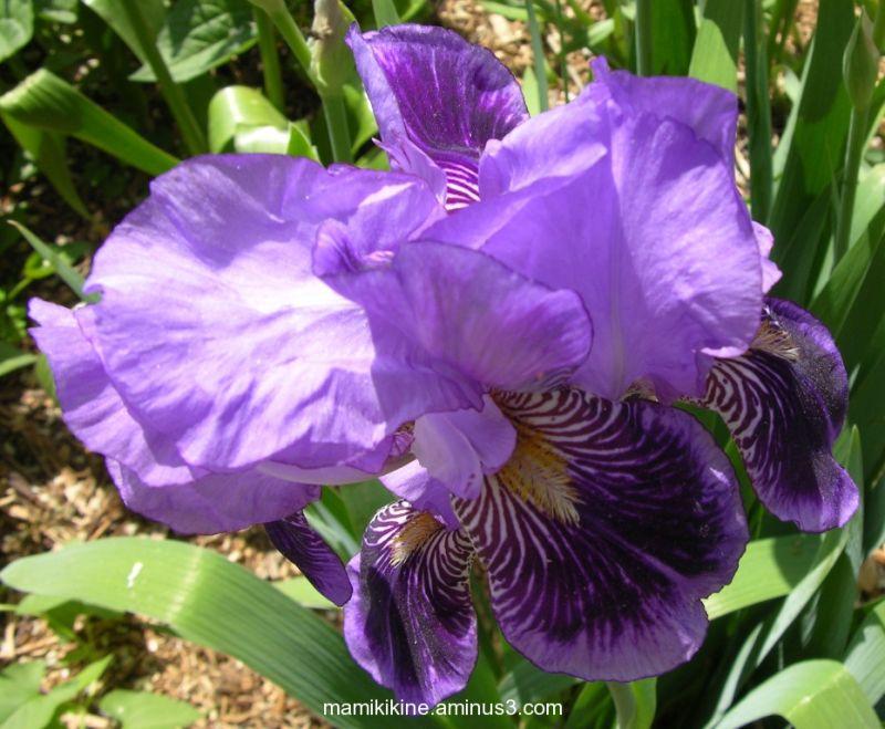 Iris, fleur, flower, printemps, spring