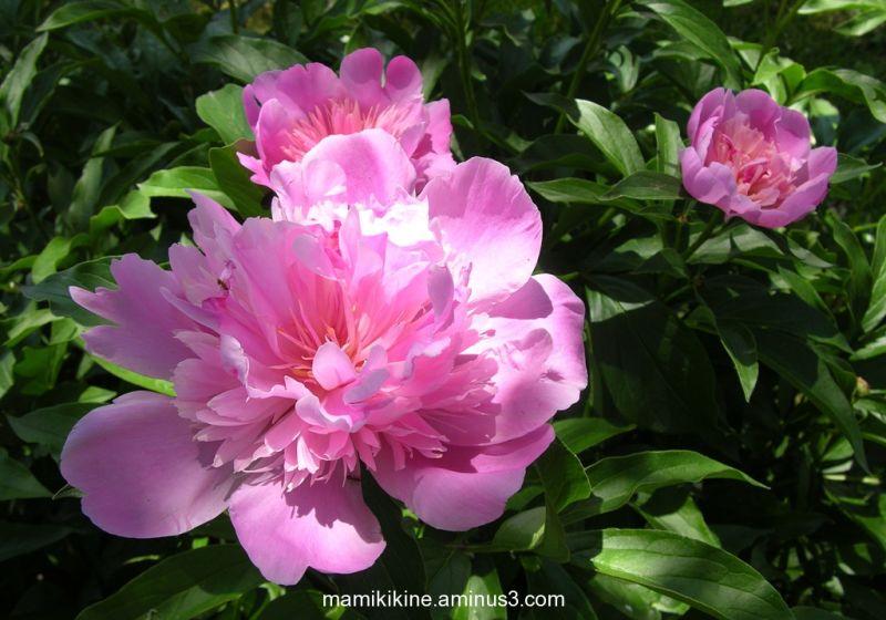 Mes pivoines roses, my pink peonies
