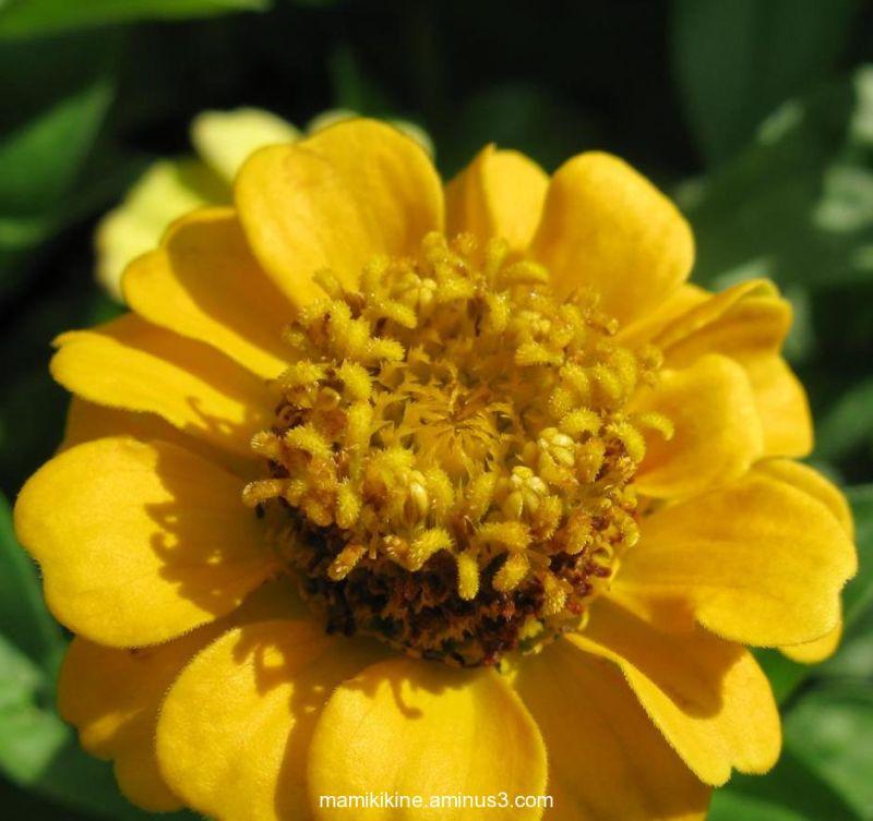 Petit zinnia jaune, Little yellow zinnia