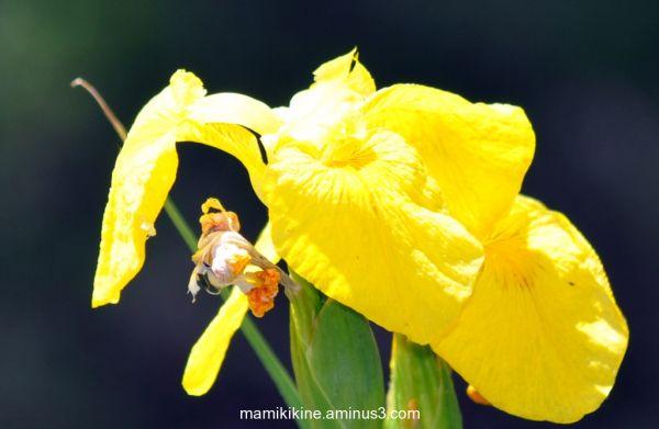 Iris jaune, yellow iris
