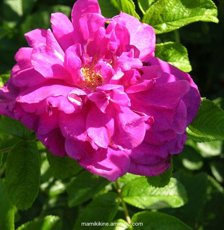 Rose rustique, rustic rose