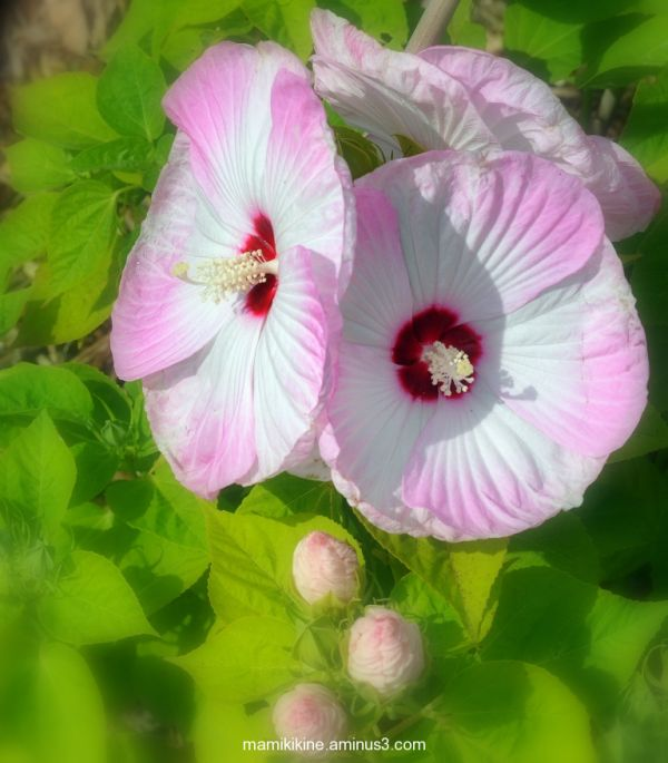 Hibiscus vivace, perennial hibiscus