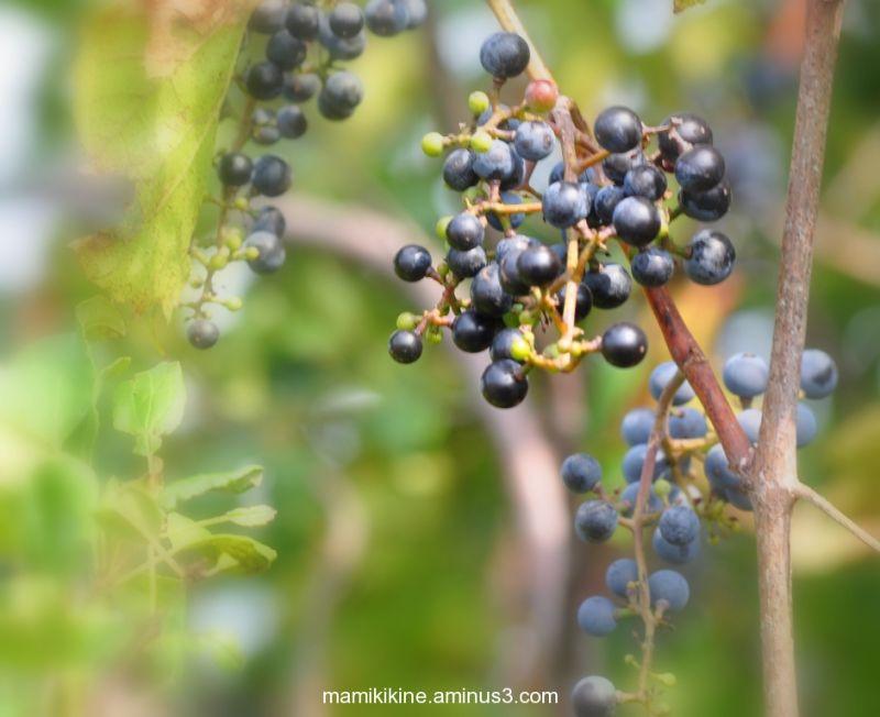 Raisins sauvage, Wild grapes