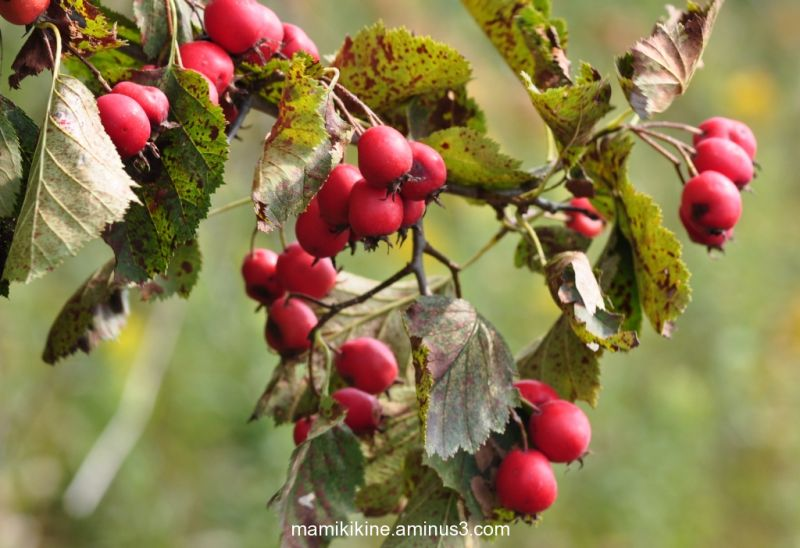 Fruits sauvage, wild fruits
