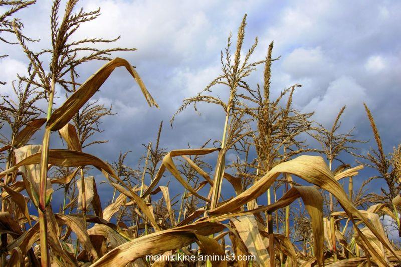 Maïs, Corn