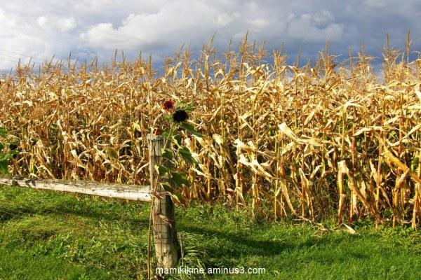 Champs de maïs, cornfields