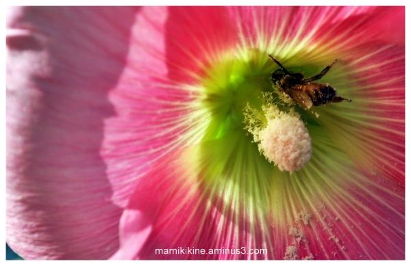 Abeille et pollen, Bee and pollen