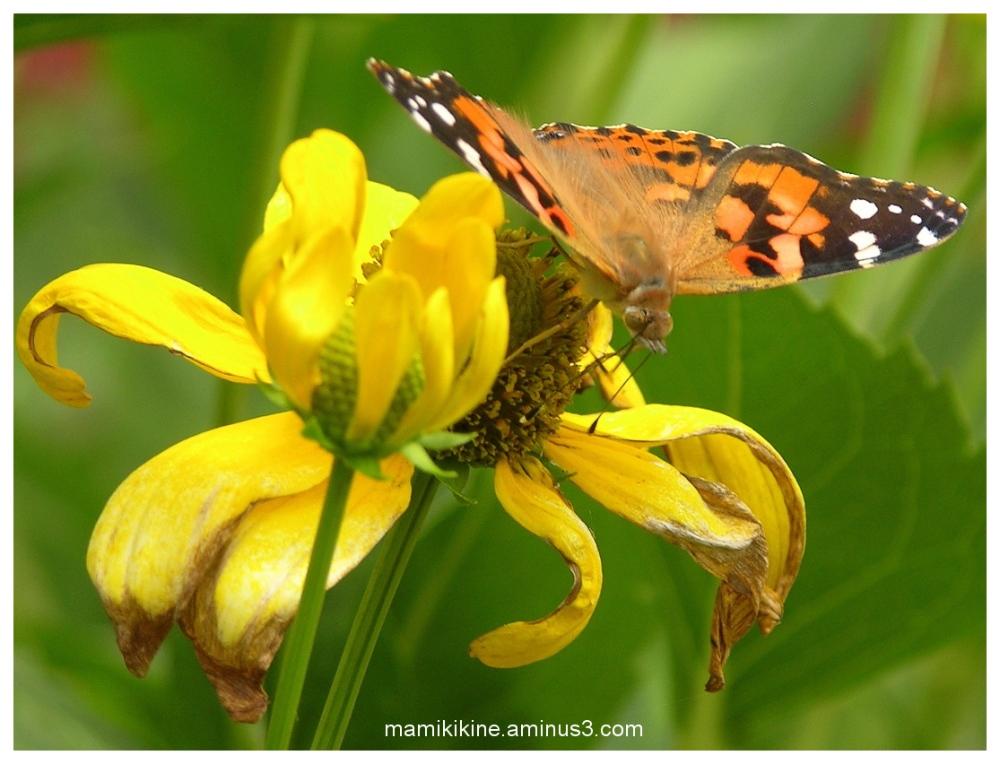 Monarque, Monarch