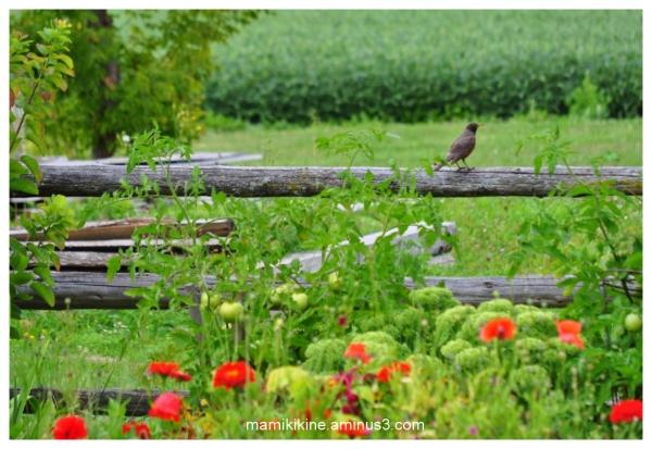Merle dans mon jardin, Robin in my garden