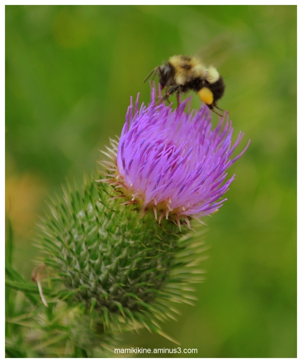 L'abeille et le chardon, Bee and Thistle