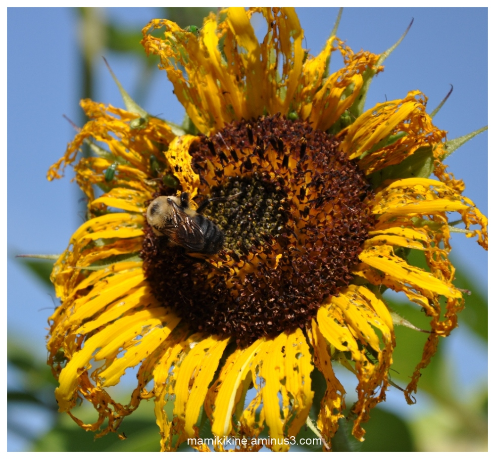 Tournesol et bourdon, Sunflower and bumblebee