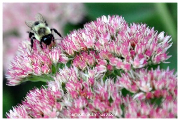 Sedum et bourdon, sedum and bumblebee