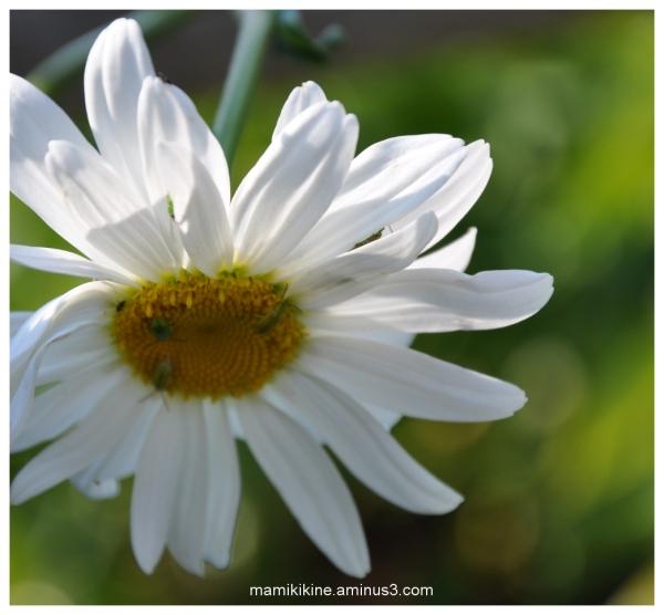 La dernière marguerite, The last daisy