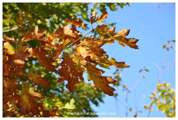 Feuilles de chêne en automne, Oak leaves in autumn