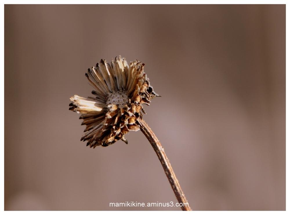 Fleur séchée, dried flower