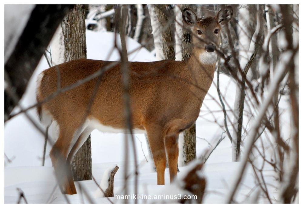 Chevreuil, deer