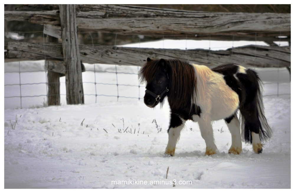 Cheval miniature, miniature horse